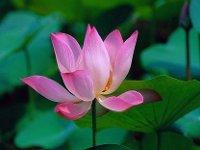 Lotusen står andlig utveckling